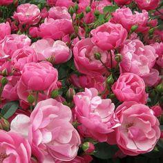 'Angela' - Kordes (1984) - ADR 1982-2012. Trosroos. Dieproze, halfgevulde bloemen (4cm). Zeer gezond.  100cm x 80cm.