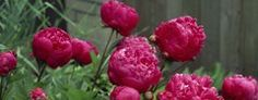 """Peonies have a long and storied history, beginning some 2,000 years ago in Europe and the Far East, where they were propagated for medicinal purposes. But peonies are most highly revered for their beauty. The Chinese refer to them as """"Sho-yo,"""" meaning """"most beautiful."""""""