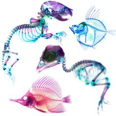 Art with Skeletons: Cleared and Stained Animals by Inked Animal