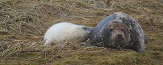 Grijze zeehond met pup op Griend (foto: Marjolein Post)