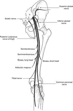 Image result for branches of sciatic nerve