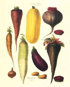 Antique French Vegetable Print 6 by BelleBotanica on Etsy
