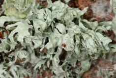 Ramalina canariensis