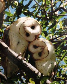 cute couple of barn owls:):):)https://www.facebook.com/biologiajubilut/photos/a.342439539171747.79946.231295150286187/822518144497215/