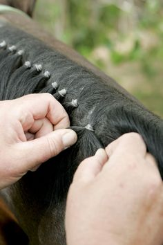 How to band a western horse's mane. So easy i mastered after 1st time trying!