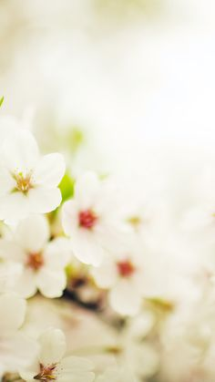 Get Wallpaper: http://iphone6papers.com/mq75-blossom-cherry-spring-sakura-nature-flower/ mq75-blossom-cherry-spring-sakura-nature-flower via http://iPhone6papers.com - Wallpapers for iPhone6 & plus