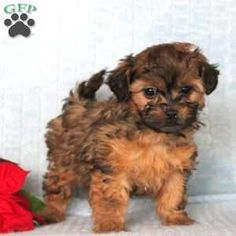 Shorkie-Poo puppies for sale! These fluffy, adorable Shorkie-Poo puppies are a designer dog breed & are a cross between the Shorkie & a Mini or Toy Poodle. Shorkie Puppies, Yorkies, Designer Dogs Breeds, Baby Animals, Cute Animals, Greenfield Puppies, Crazy Dog Lady, Cutest Dogs, Puppies For Sale