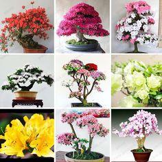 2017 /Bag Rare Bonsai 12 Varieties Azalea Seeds Diy Home & Garden Plants Looks Like Sakura Japanese Cherry Blooms Flower Seeds From Jonemark2013, $10.52 | Dhgate.Com