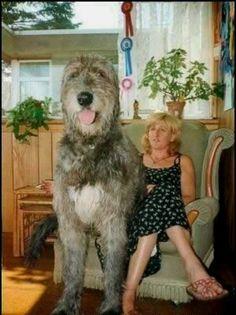 Irish Wolfhound, I hope he gets this big!