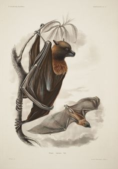 "Pteropus samoensis or Samoan flying fox. Illustration by Titian Peale, from John Cassin's ""Mammalogy and Orinthology Atlas"", 1858"