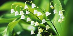 How to Grow Lily of the Valley? Love this flower? Here's a little green thumb gardening advice. Organic Gardening, Gardening Tips, Indoor Gardening, Growing Lilies, Lily Of The Valley Flowers, Poisonous Plants, Different Vegetables, Begonia, Growing Vegetables