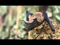 Bats: The Creatures of the Night! Bat Facts - The Discovery Girls Eps 2 - YouTube