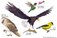 Birds get their food in different ways. Birds of prey use their sharp talons to capture their food and use their strong bills to tear flesh. Other birds, such as songbirds, use their claws to perch on branches while they eat seeds, fruits, or insects. The wings of the hummingbird allow it to hover in front of a flower as the hummingbird obtains nectar.