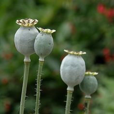 poppies (pods)
