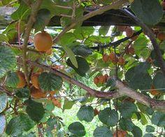Growing Kiwi Fruit: How to Grow Kiwi Fruit Organically