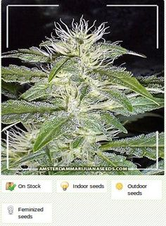 Strawberry Ice feminized Amsterdam marijuana seeds