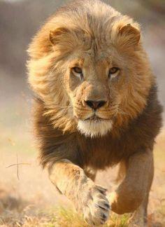 lion 5 mile roar
