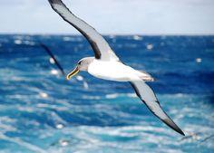 Albatross are a regular site along the Fiordland coast New Zealand Wildlife, Gulls, Wander, Discovery, Coast, Birds, Island, Explore, History