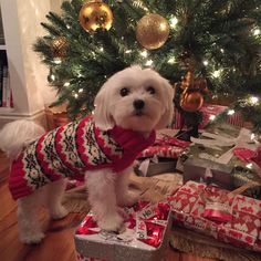Can I open these yet?? #maltese