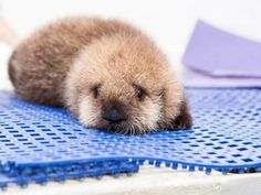 Orphaned Baby Otter Finds New Home in Chicago Aquarium