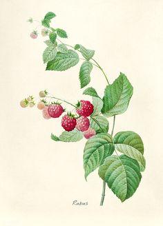 Antique plant drawn by Pierre-Joseph Redouté(1759-1840 )