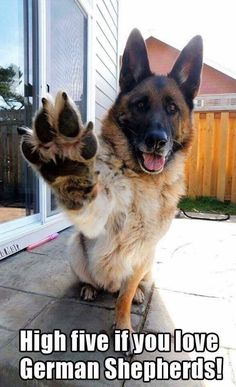 German Shepherd salute.