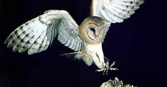 """""""One nesting pair of California barn owls could consume as many as 2000 gophers, rats, and mice."""""""