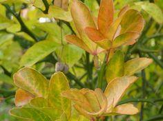 Poncirus trifoliata in autumn