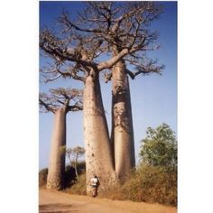 "5 True Adansonia Digitata ""Baobab"" Bottle Tree Seeds Rare Find by Hinterland Trading. $1.99. The Baobab tree produces very large white flowers. Good Seed Germination. 5 Bottle Tree Seeds. Great BONSAI tree. Known for it s huge trunk to 30' width or more with great age. This fascinating African tree is native to the hot dry savannahs where it reputedly can live to over 1,000 years of age. A first sighting may help you to see why it is sometimes called the upside d..."