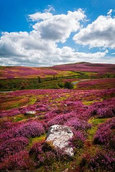 Fields of Heather, Yorkshire Dales, Yorkshire, England by Fragga Yorkshire England, Yorkshire Dales, Cornwall England, North Yorkshire, England Ireland, England And Scotland, Landscape Photography, Nature Photography, Travel Photography