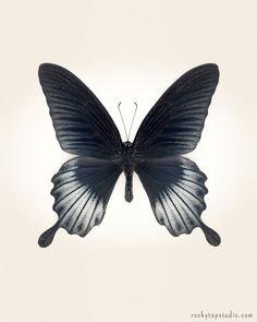 Fine Art Butterfly Print by Allison Trentelman. Papilio Lowi - Asian Swallowtail Butterfly Photo.
