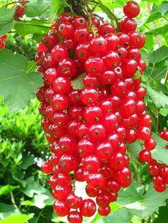 赤い実ですがさくらんぼではありません。 房状に実が付くフサスグリ。 自宅裏の畑の様な庭に植えてあるスグリの実が真っ赤に熟しました。 一週間前はまだ青々でしたけど、あっというまで下に落ち始めてます。 甘酸っぱくて子供の頃はおやつ代わりに生でよく食べましたが、今はジュースかジ... Fruit Plants, Fruit Garden, Fruit Trees, Fruit And Veg, Fruits And Veggies, Fresh Fruit, Vegetables, Currant Fruit, Fruit World