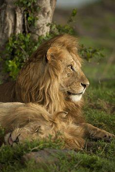 African Lions relaxing under a tree. Lower Mara, Masai Mara Game Reserve, Kenya. | © Danita Delimont