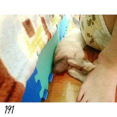 16.0409 DAY191 你就最喜歡睡我旁邊卡在小縫縫裡面 #nuomi #instaanimal #bunnylove #bunny #usagi#ウサギ#instabunny #rabbits #instarabbit #dailyflufffeature #侏儒兔 #兔  #rabbit #iganimal_snaps #iganimal#instacute#pets #happy_pet #taiwan #nuomi191 #191 #星期六 #sleep by nuomi_1002