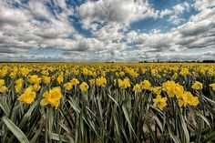 Lincolnshire Daffodils by TonyColeby