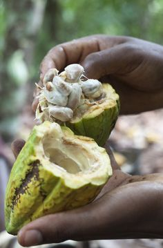 "Believe it or not, this is ""chocolate"". It takes seven to 14 these cocoa pods to produce one pound of dry cocoa beans, which are used to create the sweet treat we know and love."