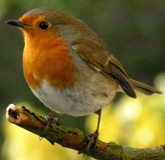 """Robin. Our little bobbin is quite shy about feeding, but bimbles around the fence :). RSPB: """"The UK's favourite bird - with its bright red breast it is familar throughout the year, especially at Christmas! Males and females look identical, and young birds have no red breast and are spotted with golden brown. Robins sing nearly all year round and despite their cute appearance, they are aggressively territorial and are quick to drive away intruders. They will sing at night next to street…"""