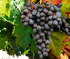 """Essa é uma uva surpreendente. Quando o assunto é Saperavi, surpresa é o que não falta... Primeiro vamos ao nome. Saperavi quer dizer """"corante"""" ou """"tintura"""". A Saperavi é uma das poucas uvas tintureiras, aquelas possuem antocianinas, ou pigmentos vermelhos, também na polpa, e não apenas na casca."""