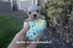Micro Teacup Schnauzer so stinkin azz cute. Teacup Puppies, Puppies And Kitties, Cute Puppies, Doggies, Cute Dogs, Super Cute Animals, Cute Baby Animals, Funny Animals, Teacup Schnauzer