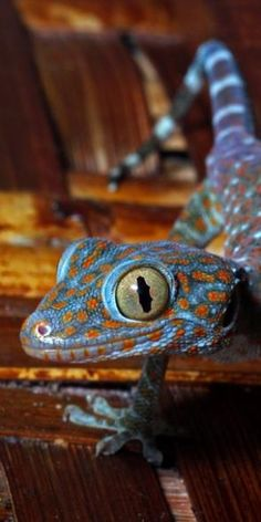 Tokay. Adorable and violent, just like me. XD Spirit animal right there.