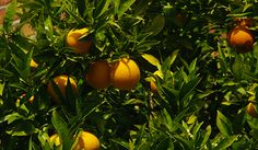 Orange Essential Oil: Healing and Expressive