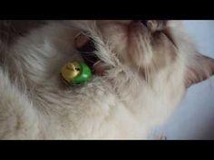 [MOOTHU] Persian Cat When Sleepy