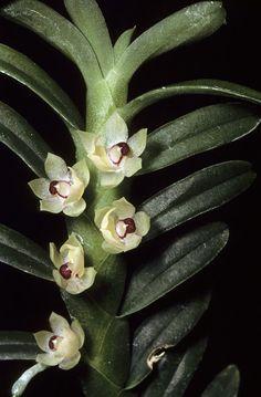 Orchid: Dichaea campanulata