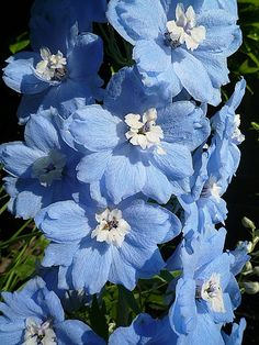 Lovely Pastel Blue Delphinium - you don't see a lot of blue flowers. My Flower, Beautiful Flowers, Exotic Flowers, Cactus Flower, Beautiful Gorgeous, Purple Flowers, Blue Delphinium, Flower Aesthetic, Plantation