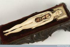 Ivory anatomical model