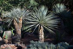 The Desert Botanical Garden in Phoenix: Spiky Yucca plants