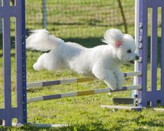 Agility leaping Bichon Frise.