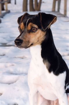 """FOX PAULISTINHA / Brazilian Terrier.  ▪︎   In Brazil, this is the all around, all purpose dog, known as the """"dog of the common people"""". Used for hunting, herding, watch dog, and in Brazil has earned the title, """"The Nanny Dog"""" for it's dependability with children.` Originating from Brazil over 100 years ago, this breed was heavily influenced by the crossbreeding of the Jack Russell, Chihuahua and miniature pincher. http://brazilianterriers.com"""
