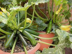 'Patio Star' squash and 'Astia' container zucchini