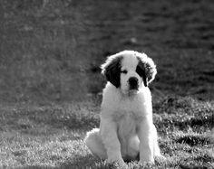San bernardo cachorro <3